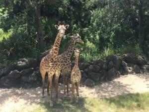 Giraffe Family at Brevard Zoo