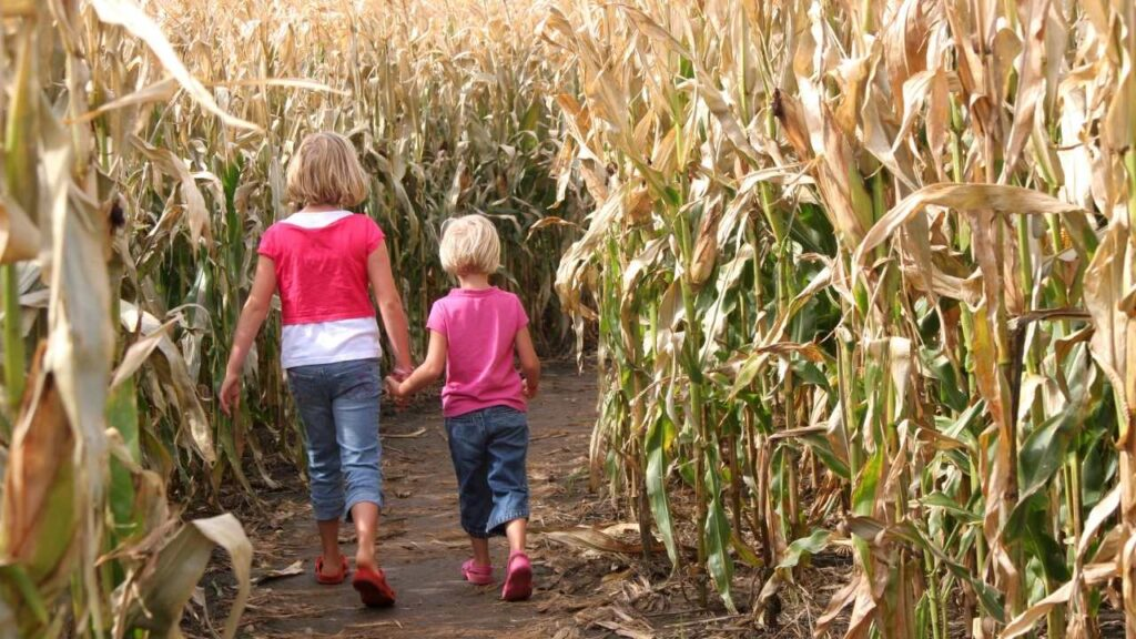 2 children walking in a corn maze at the Amish Country Store and one room school house in Bird-In-Hand, PA